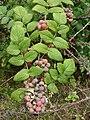 Starr 070621-7483 Rubus niveus f. a.jpg