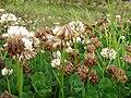 Starr 070621-7492 Trifolium repens.jpg