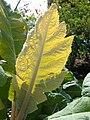 Starr 070830-8210 Bocconia frutescens.jpg