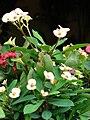 Starr 070906-8726 Euphorbia milii.jpg