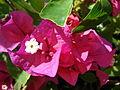 Starr 080117-1818 Bougainvillea sp..jpg