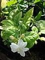 Starr 080117-1934 Jasminum sambac.jpg
