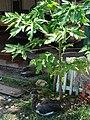 Starr 080531-4865 Carica papaya.jpg
