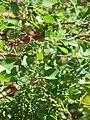 Starr 090121-0923 Chenopodium oahuense.jpg