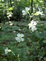 Starry Campion flowers (2984805021).jpg