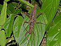 Stick Insect (Haaniella sp.) (8119042485).jpg