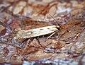 Stomopteryx detersella (36814078341).jpg
