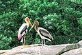 Stork611.jpg