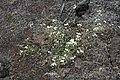 Strandtrav - Cardaminopsis petraea0135 - Flickr - Ragnhild & Neil Crawford.jpg