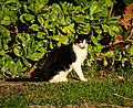 Stray Cat @ Kakaako Park (5607455977).jpg
