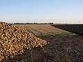 Sugar beet pile - geograph.org.uk - 1576039.jpg