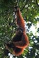 Sumatra Orangutan.jpg