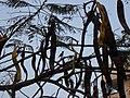 Sun bird on Delonix regia at Gajularamamram.jpg