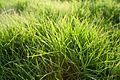 Sunlit Grass.jpg