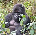 Susa group, mountain gorillas - Flickr - Dave Proffer (15).jpg