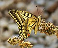 Swallowtail. Papilio machaon - Flickr - gailhampshire (1).jpg