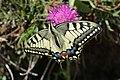 Swallowtail - Papilio machaon (20343866881).jpg