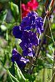 Sweet pea 'Lathyrus odoratus' violet flower at Boreham, Essex, England 1.jpg