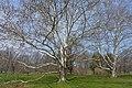 Sycamore Platanus occidentalis RBG.jpg