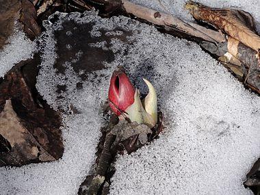 Symplocarpus foetidus SCA-05556.jpg