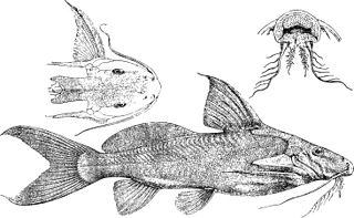 <i>Synodontis depauwi</i> Species of fish
