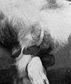 Sypnilitic sores on scrotum of a rabbit. Wellcome M0009985EB.jpg