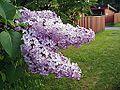 Syringa vulgaris-12.jpg