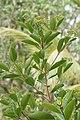 Syzygium caryophyllatum 09603.jpg
