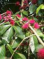 Syzygium malaccense BotGardBln07122011D.JPG