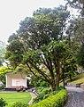 Syzygium smithii in Wellington Botanical Garden 02.jpg