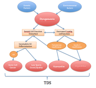 Testicular dysgenesis syndrome - Schematic diagram illustrating the pathogenic links that lead to TDS. CIS = carcinoma in situ; GC = Germ Cell