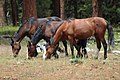 TRIO OF WILD HORSES LOOKOUT MOUNTAIN HERD-OCHOCO (25116900109).jpg