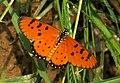 Tawny Coster (Acraea terpsicore), Cambodia.jpg