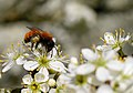 Tawny mining bee (Andrena fulva), Parc du Rouge-Cloître, Brussels (33565197141).jpg