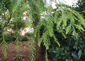 Taxodium-distichum-needles.JPG