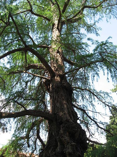 File:Taxodium mucronatum 01 by Line1.jpg
