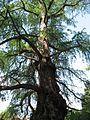 Taxodium mucronatum 01 by Line1.jpg