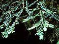 Taxus brevifolia.jpg
