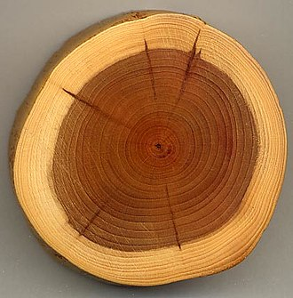 Wood - A section of a Yew branch showing 27 annual growth rings, pale sapwood, dark heartwood, and pith (center dark spot). The dark radial lines are small knots.