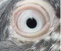 Teddy pigeon eye.png