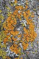 Teloschistaceae - Kitchener, Ontario.jpg