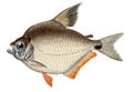 Tetragonopterus rufipes.jpg