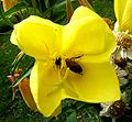 Teunisbloem+Insect0444.JPG