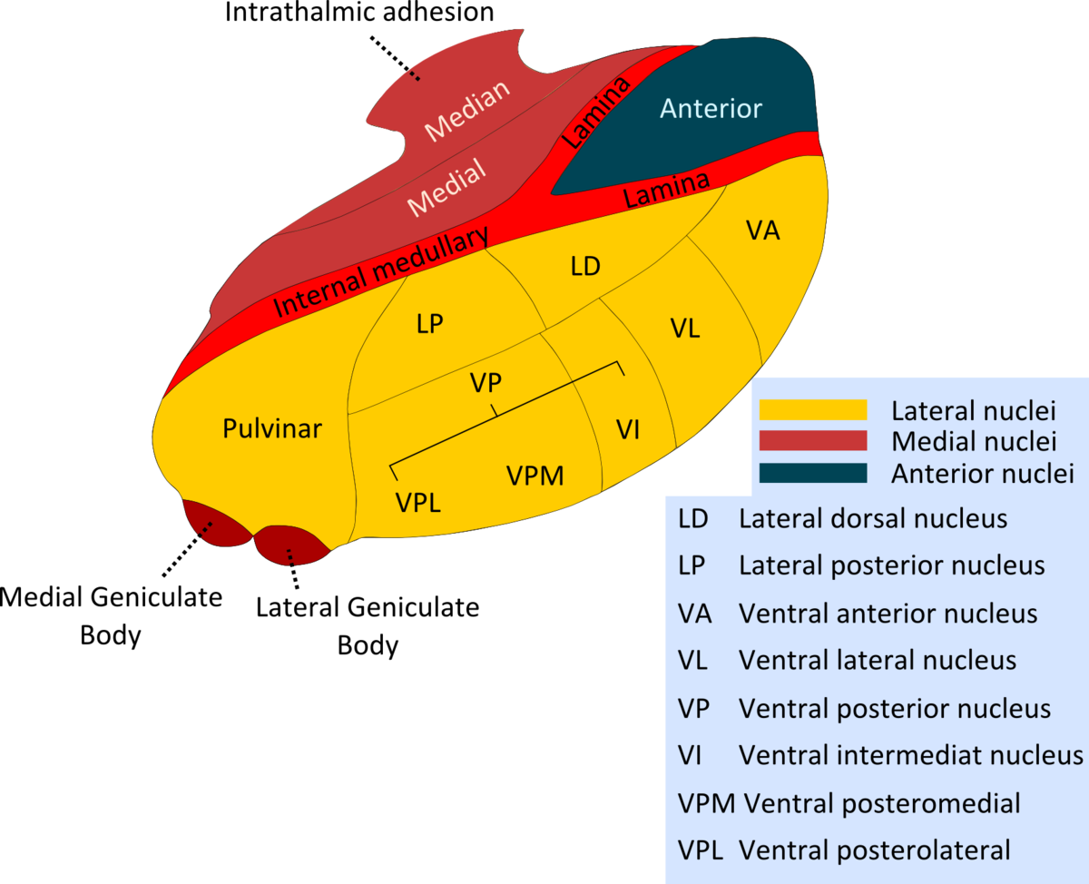 lateral dorsal nucleus of thalamus wikipedia