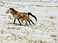 The Aral sea is drying up. Bay of Zhalanash, Ship Cemetery. Horse and foal, Aralsk, Kazakhstan.jpg