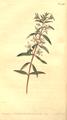 The Botanical Magazine, Plate 456 (Volume 13, 1799).png