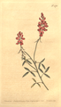 The Botanical Magazine, Plate 476 (Volume 14, 1800).png