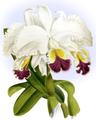 The Orchid Album-01-0014-0003-Cattleya Mendelii-crop.png