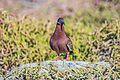 The penultimate land excursion to the SW tip of Isla Seymour Norte - Galapagos Dove (Zenaida galapagoensis) (16068654304).jpg