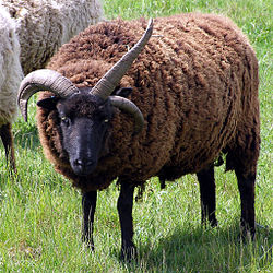 A ram with three horns